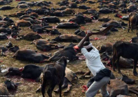 Pred zemetrasením prívrženci hinduizmu zabili 250 000 zvierat na oslavu festivalu