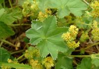 Séria článkov o bylinkách – Diel štvrtý Alchemilka žltozelená (Alchemilla xanthochlora)