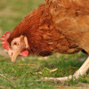 Filozofická otázka: Prečo kurča prebehlo cez cestu?