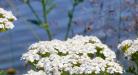 Séria článkov o bylinkách – Diel siedmy Rebríček Obyčajný (Achillea Millefolium)