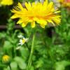 Séria článkov o bylinkách – Diel šiesty Nechtík Lekársky (Calendula officinalis)