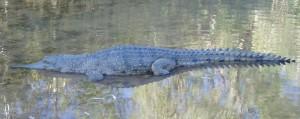 Krokodíl vo voľnej prírode