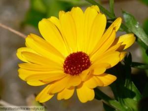 Nechtík záber na kvet